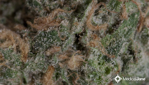 Blue Dream Marijuana Strain (Review)