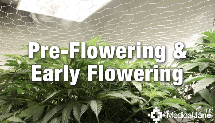 Pre-Flowering and Early Flowering Tips For Growing Weed