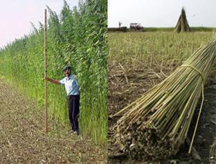 Hemp vs Marijuana – What's the difference? – Cannabis Unlimited